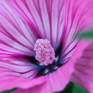 Wild Mallow by evelynlaeschke