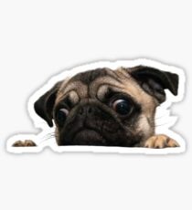 Worried Pug Sticker