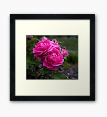Edmonton Roses Framed Print