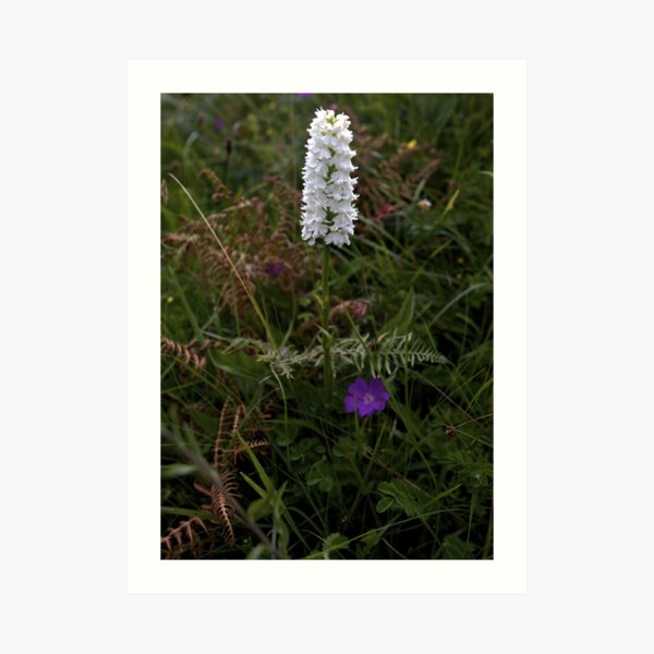 Irish White Orchid, Inishmore Art Print