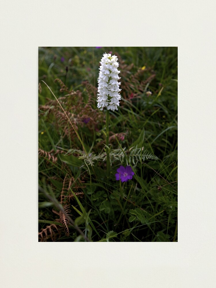 Alternate view of Irish White Orchid, Inishmore Photographic Print