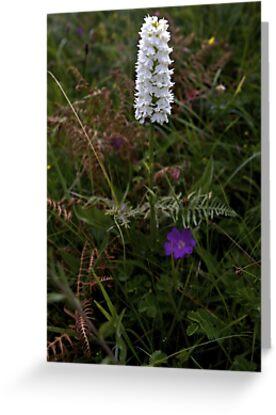 Irish White Orchid, Inishmore by George Row