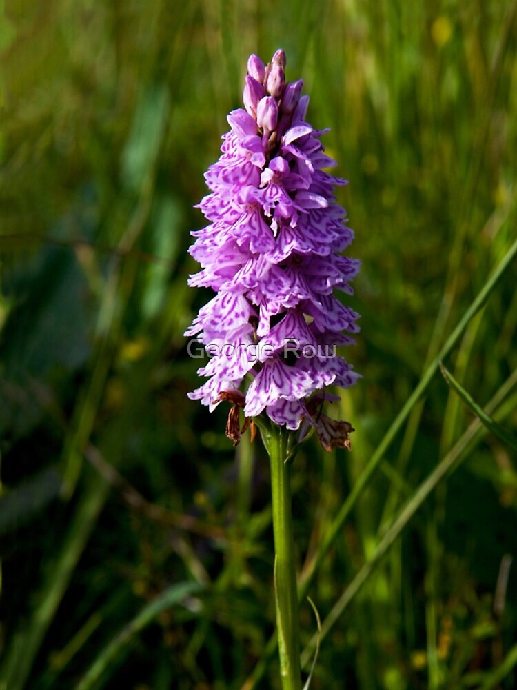 Spotted Orchid,  Donegal as iPhone case by VeryIreland