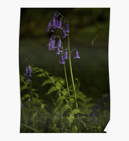 Two Bluebells in Prehen Woods, Derry Poster
