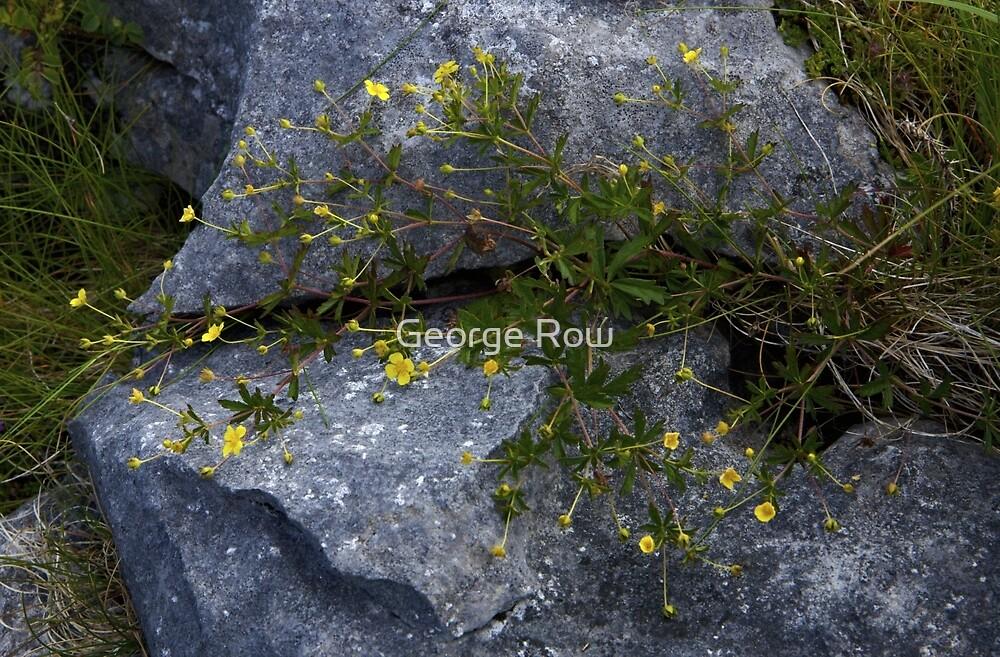 Tormentil, Dun Aengus, Inishmore, Aran Islands by George Row
