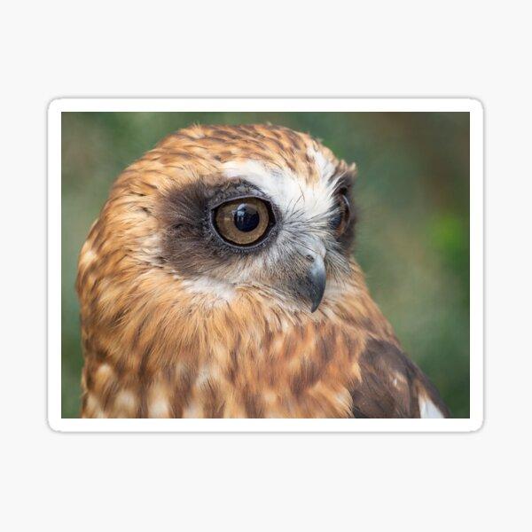 Cute little Boobook Owl Sticker