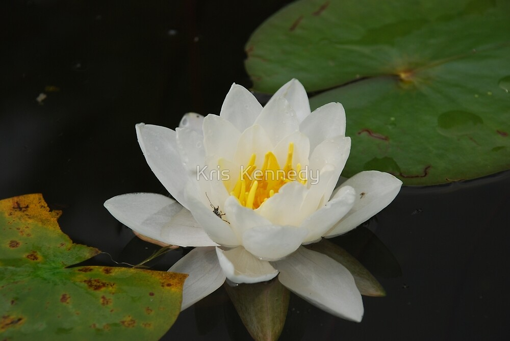 Water Lily by Kris  Kennedy