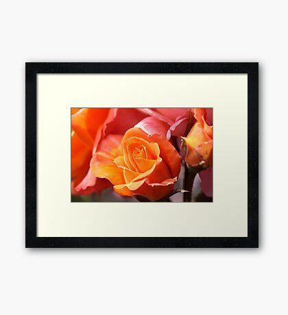 A Rose Amongst the Thorns Framed Print
