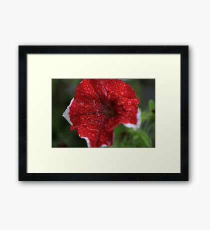 Rain soaked petunia's Framed Print