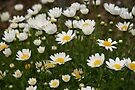 White Daisies Lift Up Their Faces  by coffeebean
