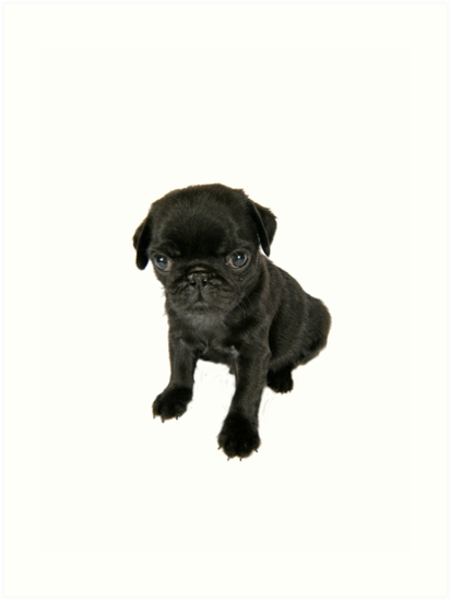 Cute Sad Looking Black Pug Puppy Art Prints By Ardeaonline Redbubble