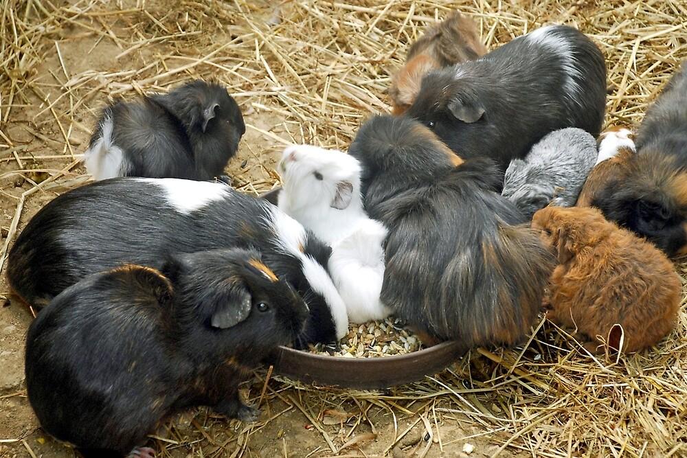 Guinea pigs by Arie Koene