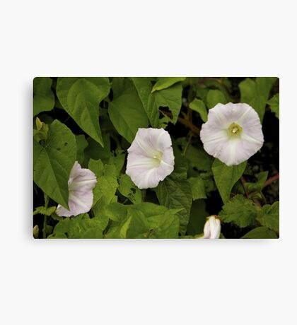 Sea Bindweed, Muckross Head, Donegal Canvas Print