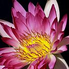 June Alison Water Lily by Robert Armendariz