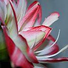 Lily by Belinda Osgood