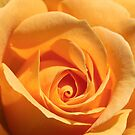 Honey Perfume Floribunda Rose by Robert Armendariz