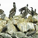 Brown pelicans on the jetty- Moss Landing by David Chesluk