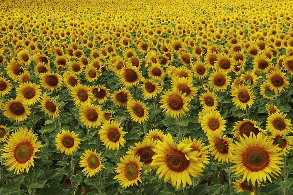 sunflowers by David Chesluk