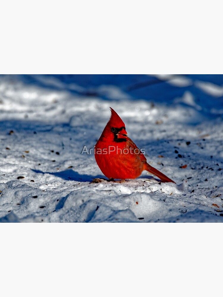 Male Northern Cardinal in the Snow by AriasPhotos