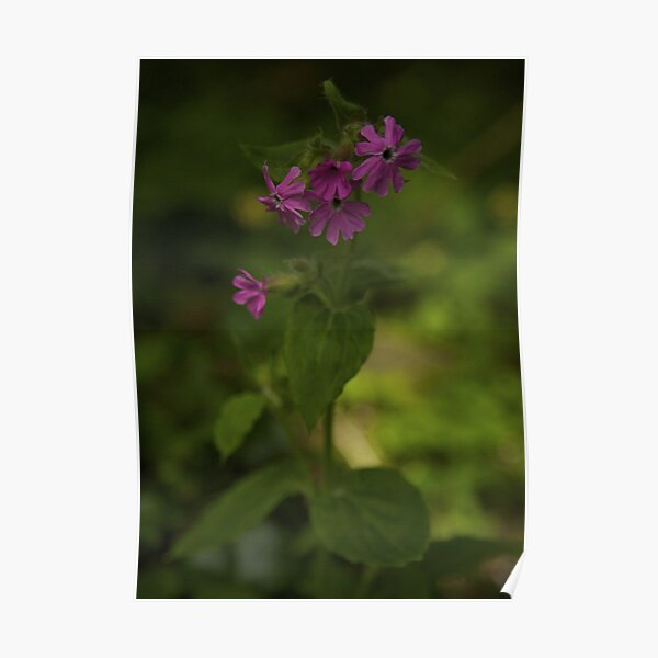 Pink Campion in Prehen Woods, Derry Poster