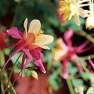 Columbine Flower by Jared Manninen