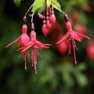 Fuchsia Hedge at Loch Na Fooey 3 by George Row