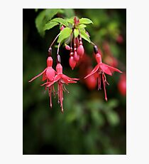 Fuchsia Hedge at Loch Na Fooey 3 Photographic Print