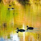 Homeward Bound, Black Ducks, Wilson Botanical Park, Berwick,  by johnrf