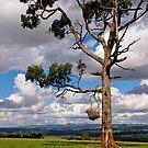 Gippsland giant, Eucalyptus,  Drouin, Victoria. by johnrf