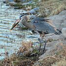 The Great Blue Heron With A Trout by K D Graves Photography