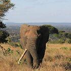 Male Elephant, Tanzania by miaastewart