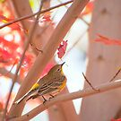Yellow Rumped Warbler In Autumn by K D Graves Photography