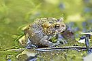 Eastern American toad - Anaxyrus americanus by MotherNature