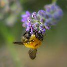 Die Biene und der Lavander von WillBov