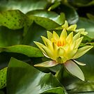 Yellow Waterlily by vivsworld