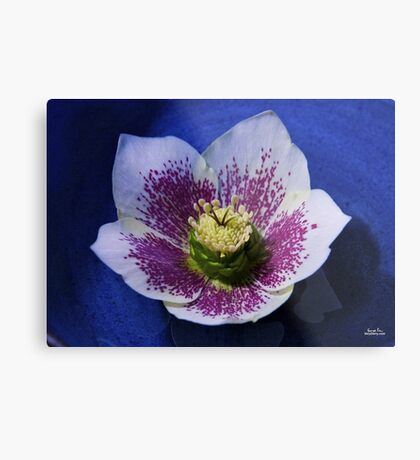 Hellebore Flower Head Metal Print