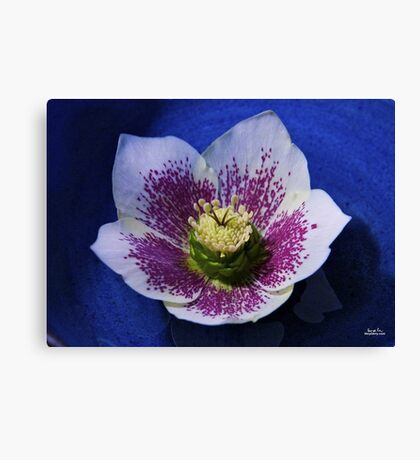 Hellebore Flower Head Canvas Print