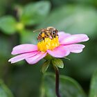 Busy Bee by Becksphotoglife