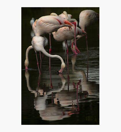 More Flamingos Photographic Print