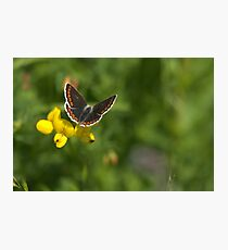 Flora - Brown Argus Photographic Print