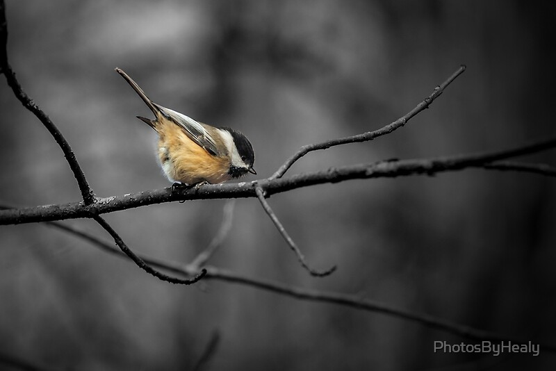 Black-capped Chickadee - selective colour by Photos by Healy