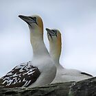 Gannets by Lynn Bolt