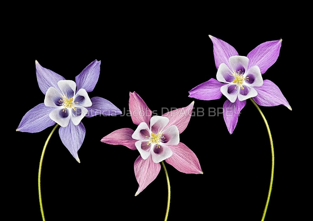 Aquilegia Flower by Patricia Jacobs DPAGB BPE4
