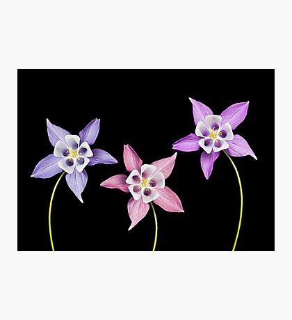 Aquilegia Flower Photographic Print
