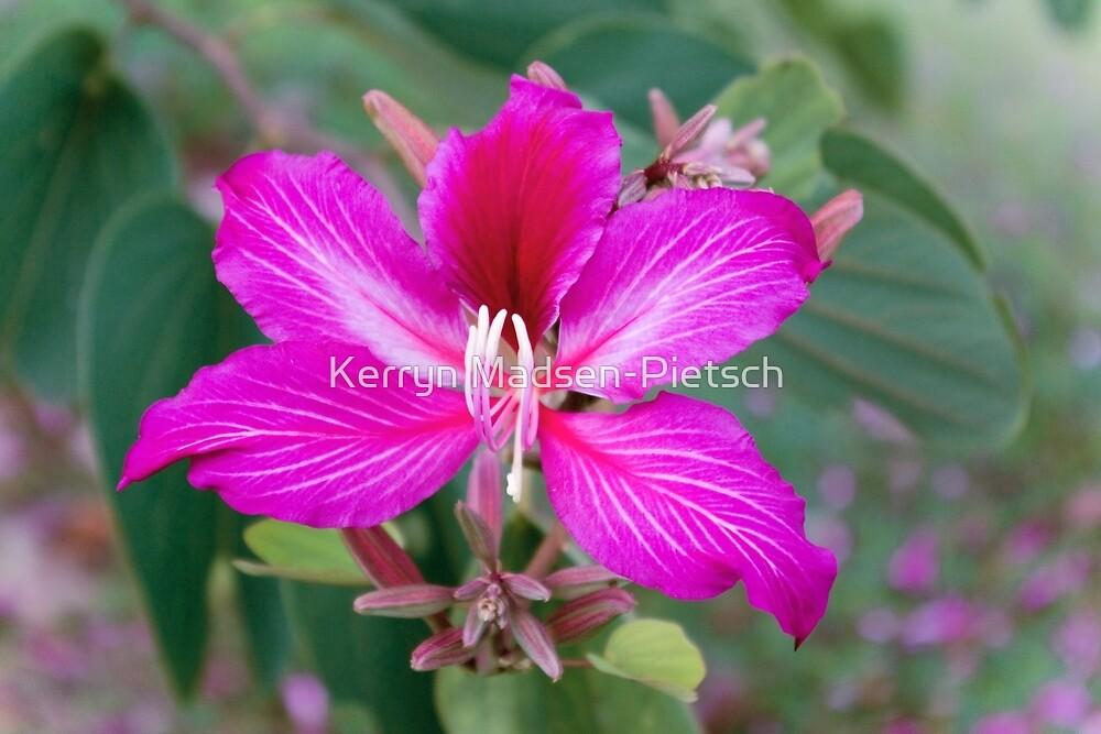 Bauhinia Purpurea Orchid Flower by Kerryn Madsen-Pietsch