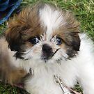 Cute Puppy Shih Tsu by Sarah Horsman