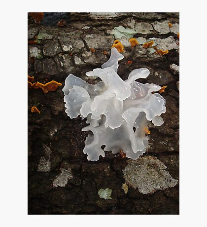 Pretty, frilly fungus (Tremella fuciformis) Photographic Print