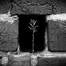 A Single Plant Growing Out Of The Old Red Brick Wall | Upper Brookville, New York  by © Sophie W. Smith
