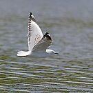 Skimming Gull by Steve Randall