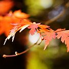 Golden autumn maple leaves by Katieshires